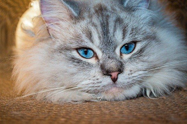 cat, chat des forêts sibériennes, oeil bleu