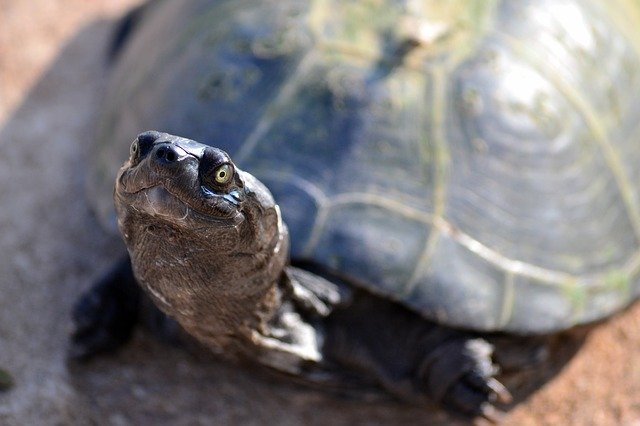 terrapin, tortue, zurtoise